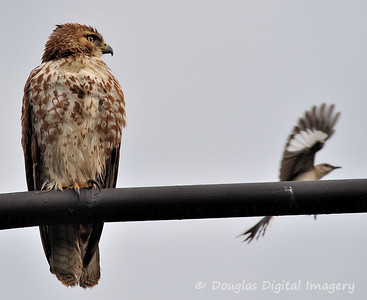 red_tail_hawk51109_002