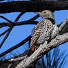 Red-shafted Flicker