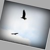 Aug 16,2012_Bald Eagle and RTH_Clearwater,Fl _IMG_1767_