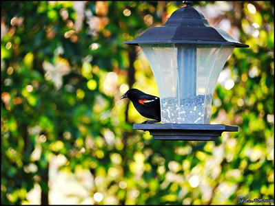 2-Red Winged Blackbird
