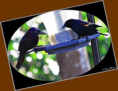 Blackbirdss...Clearwater, Florida...Jan. 01, 2012