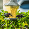 Rusty Blackbird and Red-winged Blackbird,Clearwater,Fl,ATH  2018-01-25-1260001