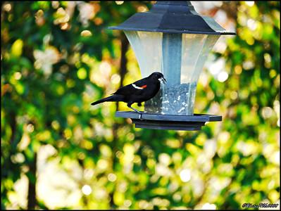 10-Red Winged Blackbird