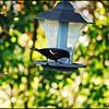 7-Red Winged Blackbird