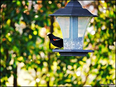 3-Red Winged Blackbird