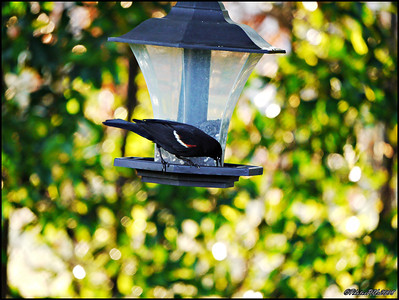11-Red Winged Blackbird