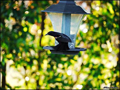 4-Red Winged Blackbird