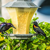 Rusty Blackbird and Red-winged Blackbird,Clearwater,Fl,ATH  2018-01-25-1260002