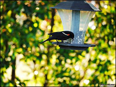 6-Red Winged Blackbird