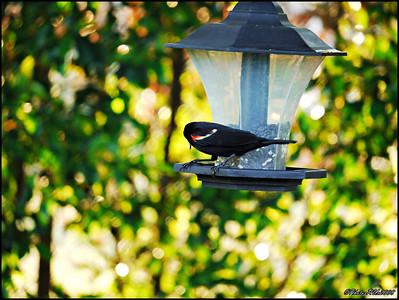 5-Red Winged Blackbird