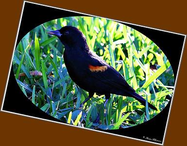 Red Winged Blackbird..Clearwater,Florida...Jan. 01, 2012