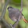 Black Redstart - juv
