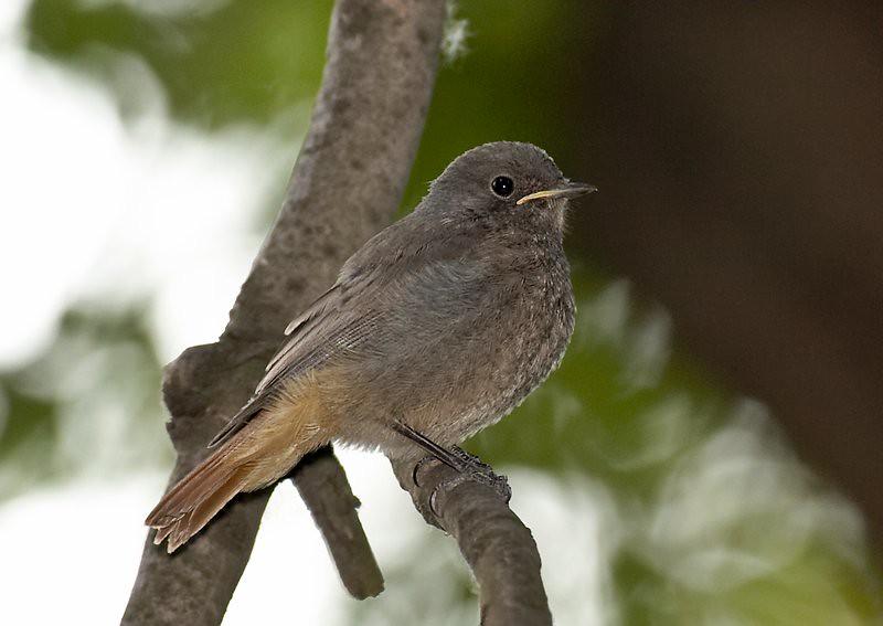 Black Redstart - juv (Phoenicurus ochruros)