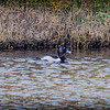 2017-02-07_P2070039_ Ring-necked Duck,Clwtr,Fl