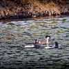 2017-02-07_P2070030_ Ring-necked Duck,Clwtr,Fl