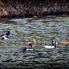 2017-02-07_P2070032_ Ring-necked Duck,Clwtr,Fl