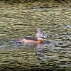 2017-02-07_P2070033_ Ring-necked Duck,Clwtr,Fl