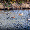 2017-02-07_P2070007_ Ring-necked Duck,Clwtr,Fl