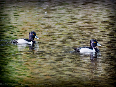 2017-02-07_P2070005_ Ring-necked Duck,Clwtr,Fl