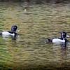 2017-02-07_P2070005_ Ring-necked Duck,Clwtr,Fl