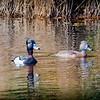 2017-02-07_P2070021_ Ring-necked Duck,Clwtr,Fl
