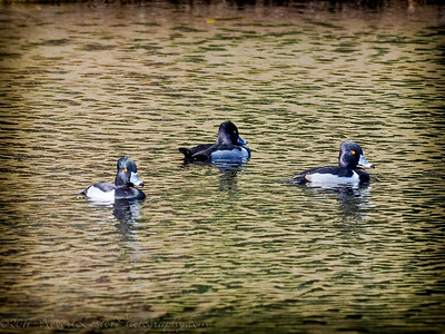 2017-02-07_P2070004_ Ring-necked Duck,Clwtr,Fl