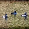 2017-02-07_P2070004_ Ring-necked Duck,Clwtr,Fl