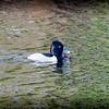 2017-02-07_P2070013_ Ring-necked Duck,Clwtr,Fl