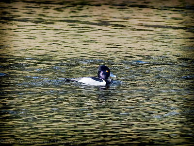 2017-02-07_P2070006_ Ring-necked Duck,Clwtr,Fl