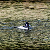 2017-02-07_P2070006_ Ring-necked Duck,Clwtr,Fl
