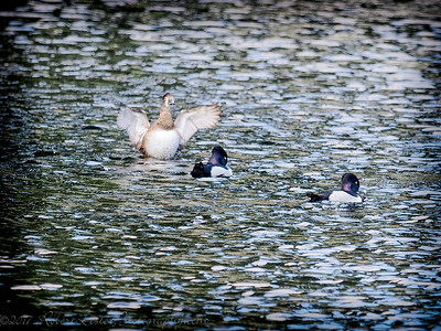 2017-02-07_P2070009_ Ring-necked Duck,Clwtr,Fl