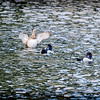 2017-02-07_P2070009_ Ring-necked Duck,Clwtr,Fl