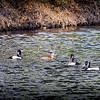 2017-02-07_P2070031_ Ring-necked Duck,Clwtr,Fl