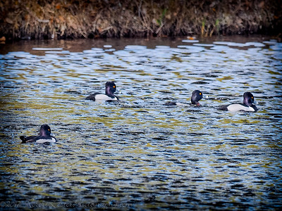 2017-02-07_P2070008_ Ring-necked Duck,Clwtr,Fl