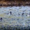 2017-02-07_P2070008_ Ring-necked Duck,Clwtr,Fl