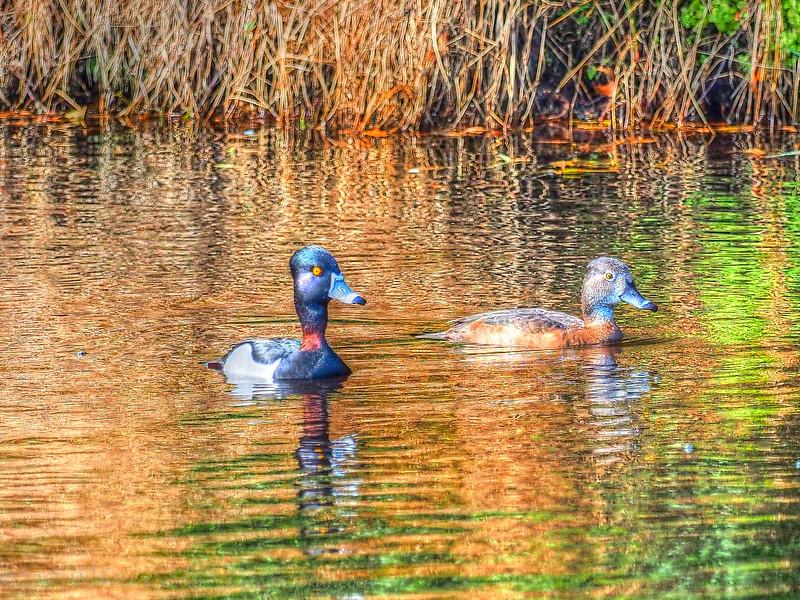 2017-02-07_P2070021_painterly 2,color sat100_ Ring-neck Duck