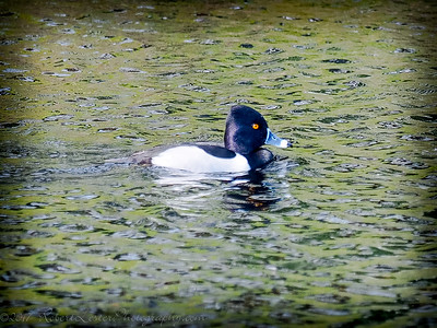 2017-02-07_P2070014_ Ring-necked Duck,Clwtr,Fl