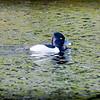 2017-02-07_P2070014_ Ring-necked Duck,Clwtr,Fl