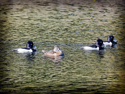 2017-02-07_P2070002_ Ring-necked Duck,Clwtr,Fl