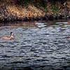 2017-02-07_P2070029_ Ring-necked Duck,Clwtr,Fl