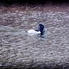 2017-02-07_P2070012_ Ring-necked Duck,Clwtr,Fl