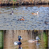 ring-necked Duck collage