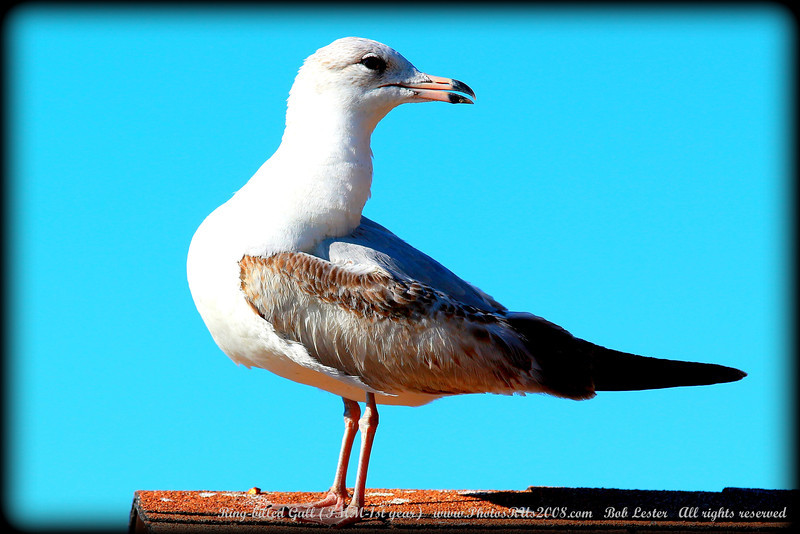 "Ring-billed Gull (IMM-1st year)    <a href=""http://www.PhotosRUs2008.com"">http://www.PhotosRUs2008.com</a>   Bob Lester   All rights reserved"