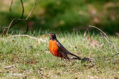 Took several handheld shots of robins in frontyard with EOS 80D & 100-400mm lens at 400mm with UV filter