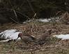 Northern Flicker pair at Hillandale Park