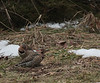Northern Flicker pair at Hillandale Park