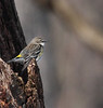 Yellow-rumped Warbler<br /> Lake Campbell