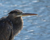 Great Blue Heron<br /> Lake Campbell