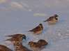 Both Lapland Longspurs in view: center and bottom center.