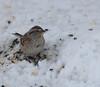 American Tree Sparrow,  2-15-10
